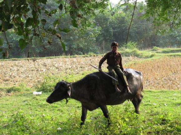Непальский пастушок