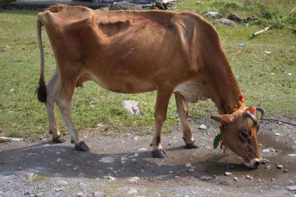 Корова во второй день Дивали