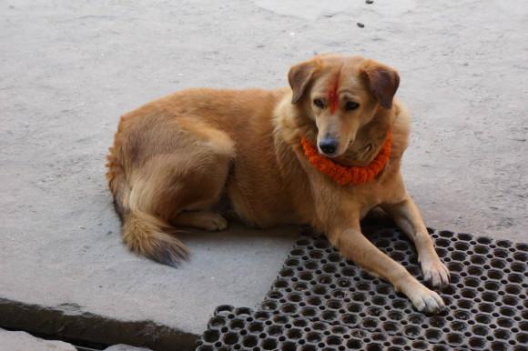 Собака в первый день Дивали
